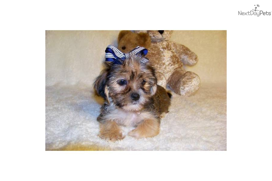 """Anderson...I Love You! """"Shorkie"""" Best of both!!! 