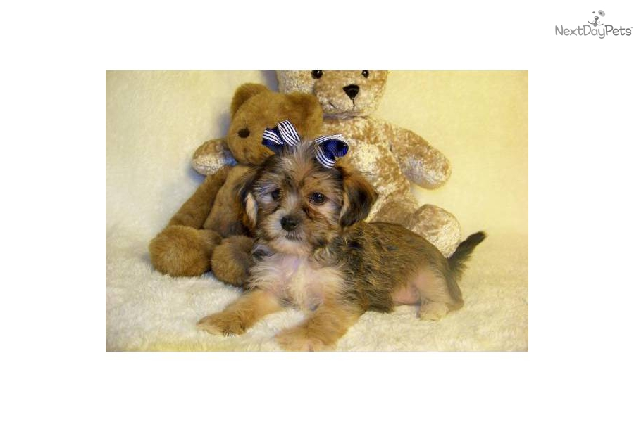 "Anderson...I Love You! ""Shorkie"" Best of both!!! 