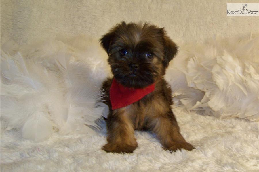 Brussels Griffon Puppy For Sale Near St Louis Missouri