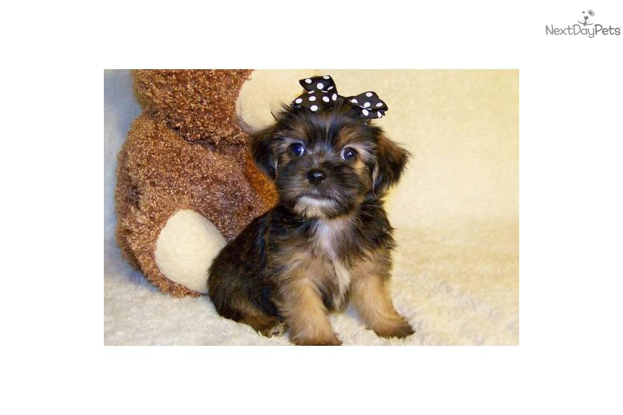 cute Shih-Poo - Shihpoo puppy for sale for $299. Casey.Darling.Shorkie ...