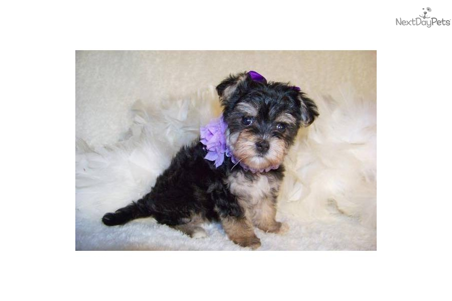 Meet Ginger a cute Yorkiepoo - Yorkie Poo puppy for sale ...