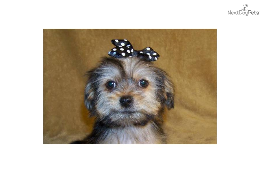 Meet Grant a cute Shih-Poo - Shihpoo puppy for sale for $199. Grant ...