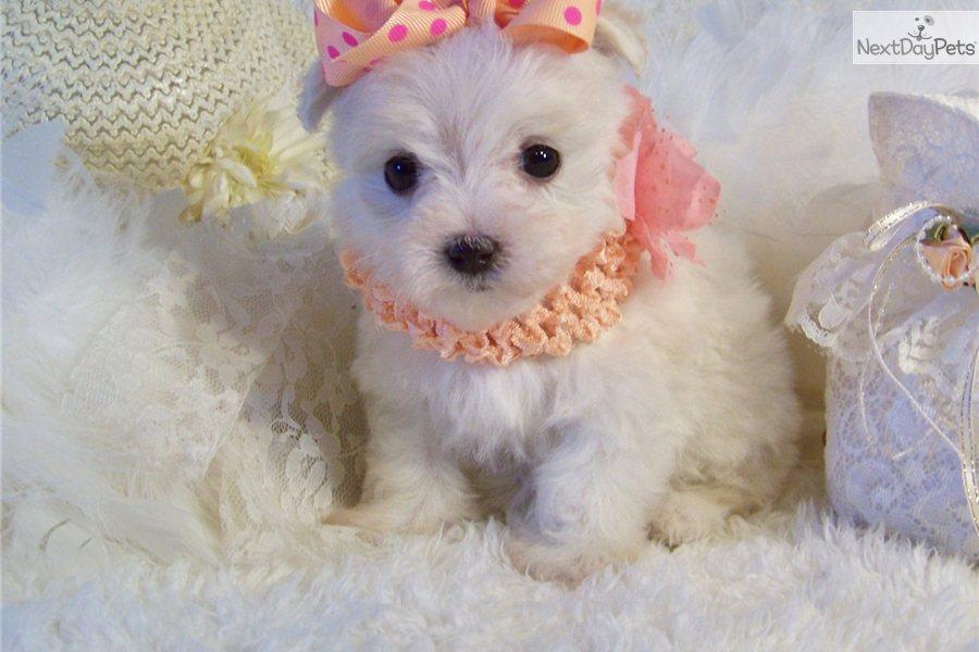 Teacup Puppies Long Island
