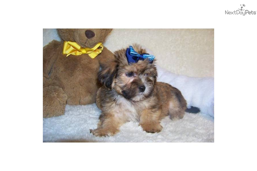 Meet Marly a cute Shih-Poo - Shihpoo puppy for sale for $199. Marly ...