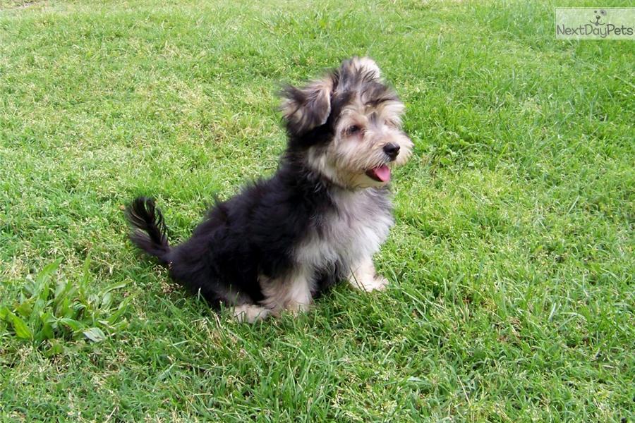 yorktese morkie puppy dog breed info center dog breeds