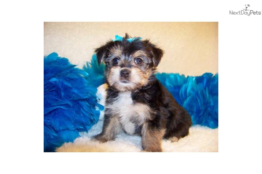 Dog Breeds,Breeder. dogs for sale.puppies for sale.Morkie puppy for ...