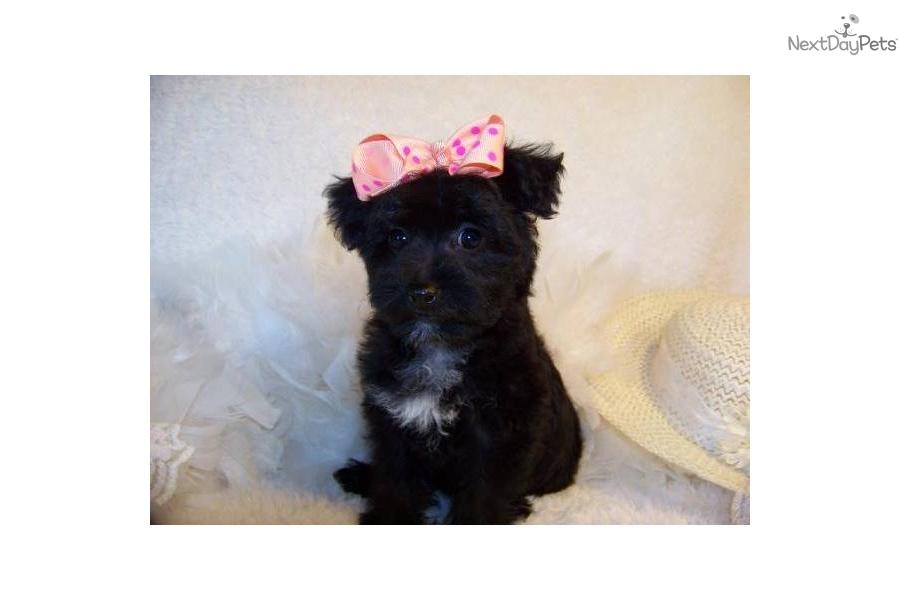Meet Rebekah a cute Yorkiepoo - Yorkie Poo puppy for sale ...