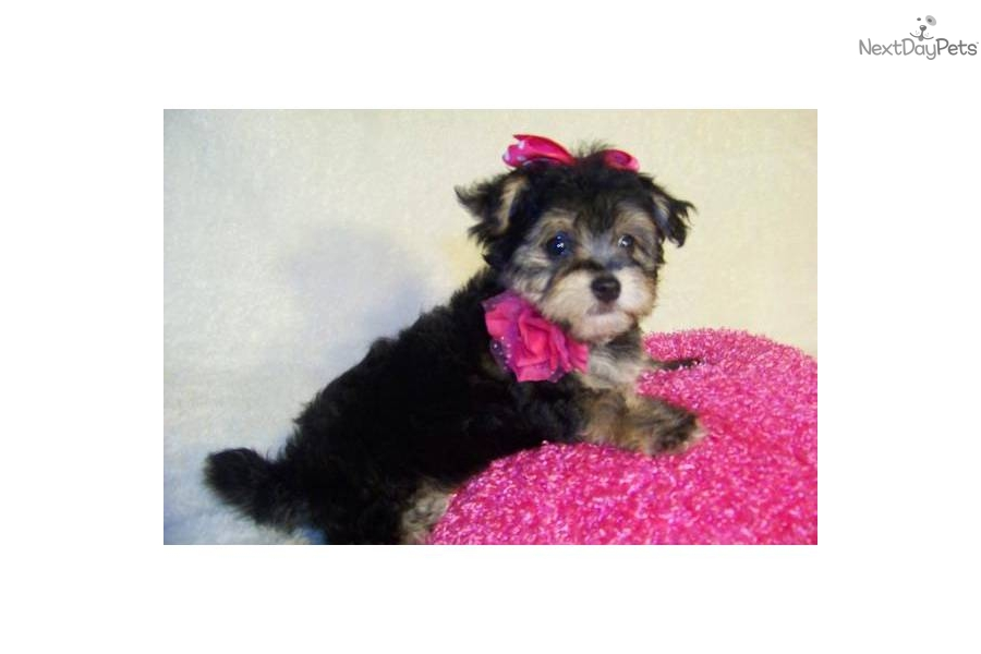 Meet Samantha a cute Yorkiepoo - Yorkie Poo puppy for sale ...