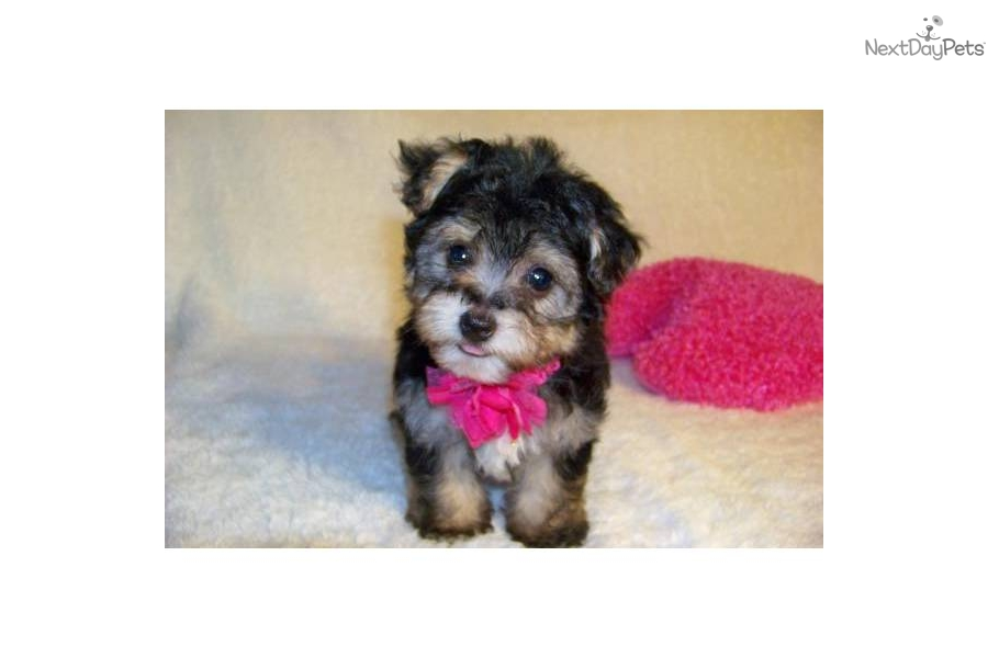The gallery for --> Toy Yorkie Poo Puppies