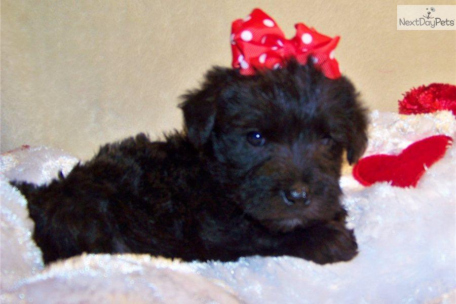 Meet T-Bone a cute Schnoodle puppy for sale for $449. T-Bone...Cutie ...