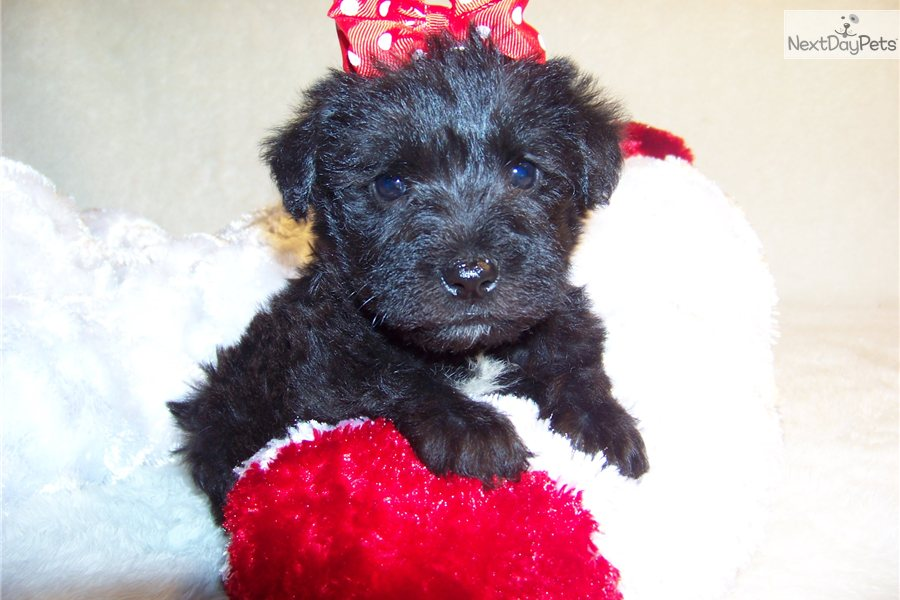 Meet T-Bone a cute Schnoodle puppy for sale for $449. T-Bone...Cutie ...