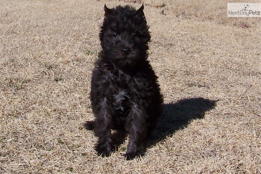 Schnoodle puppy for sale near springfield missouri 06440ace 8981