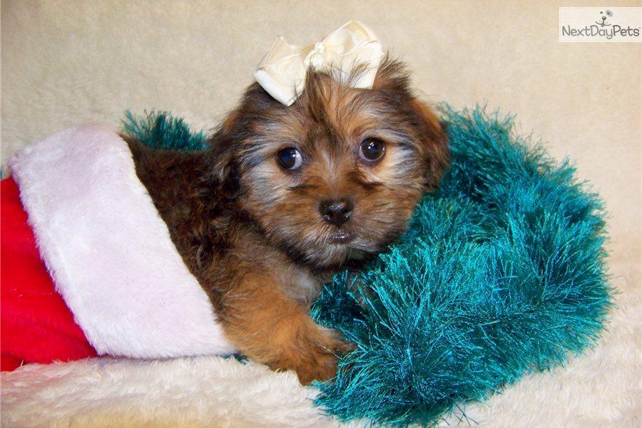 ... cute Shih Tzu puppy for sale for $449. Spencer..Cutie...Shorkie