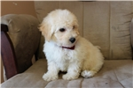 Picture of Harley - Sweet Boy!! Bichpoo!!