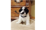 Shih-Poo - Shihpoo for sale