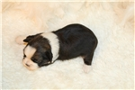 Picture of Otis..Shiffon