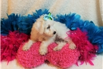Picture of Piper- Sweet Baby Girl Schnoodle