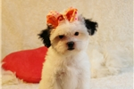 Picture of Baby..Sweet.. Shih-Poo
