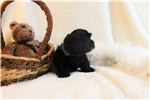 Picture of Jase - A Furever Friend! Shorkie!!