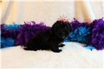 Picture of Jade- Sweet Little Girl! Shorkie