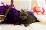 Picture of Allie - Precious Shorkie!!