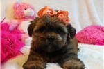 Picture of Sarah!! Sweet Baby Shorkie!