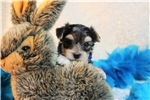 Alvin...Cute | Puppy at 5 weeks of age for sale