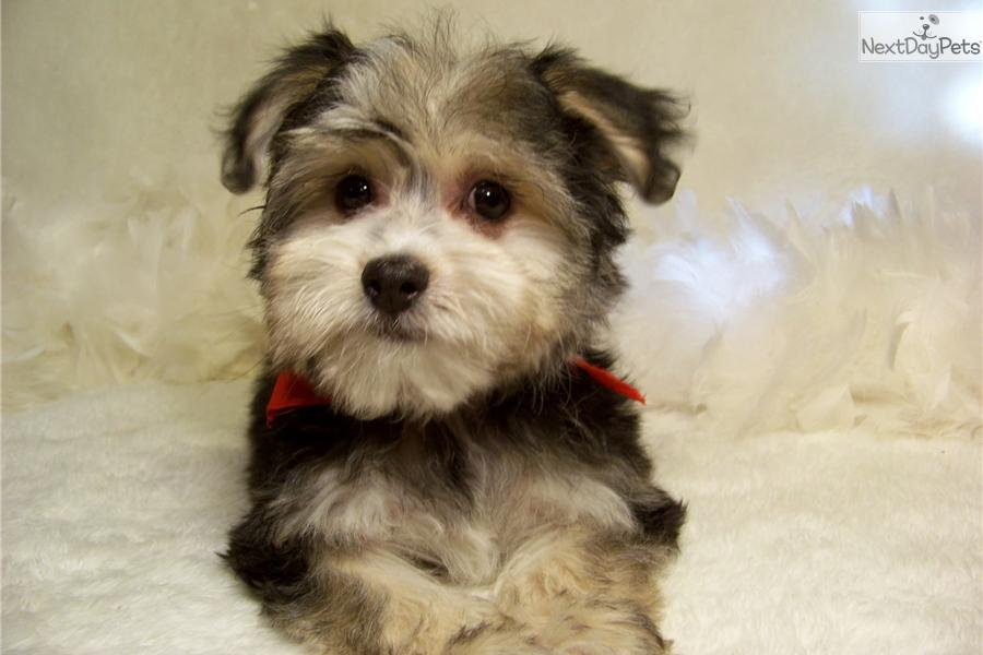 Related Pictures teacup yorkie puppies for sales micro yorkshire ...