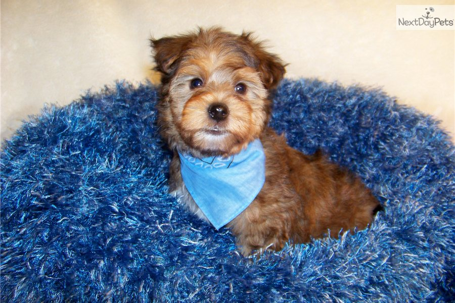 Adorable Yorkie Poo Puppies Pictures | Dog Breeds Picture