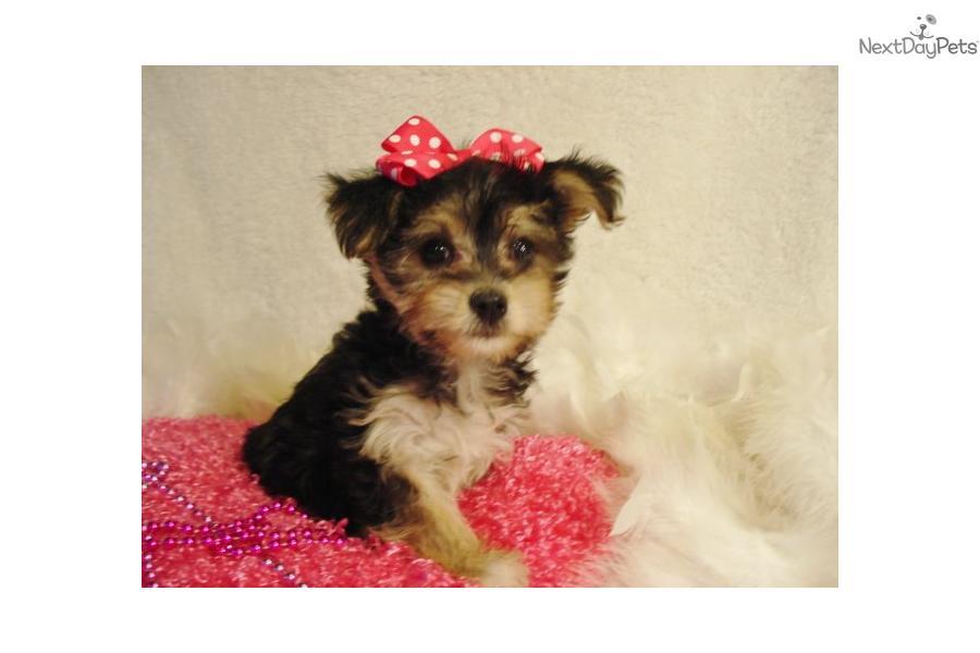 Yorkiepoo - Yorkie Poo puppy for sale near St Louis ...