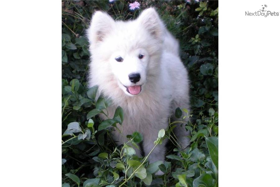 Samoyed Dog For Sale California