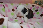 Picture of AKC English Bulldog Puppy