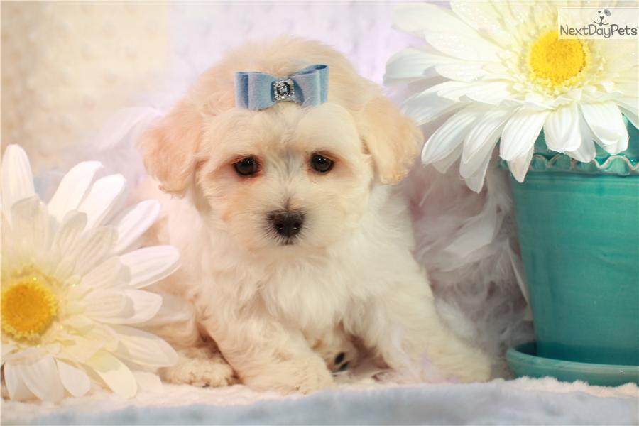 cute Malti Poo - Maltipoo puppy for sale for $900. Fluffy maltipoo