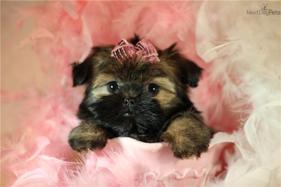 Meet Shelby a cute Shorkie puppy for sale for $1,300. Playful Shorkie