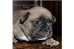 Picture of Blue Fawn Male Frenchie - Hudson