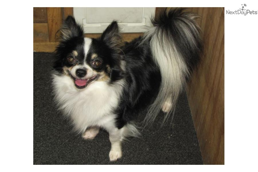 Long Haired Chihuahua Black And White Chocolate merle long coat ... Black And White Short Hair Chihuahua