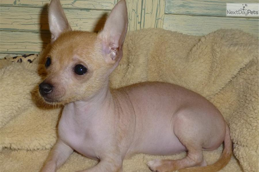 Mexican Hairless Dog puppy for sale near Houston, Texas | 01035c9b ...