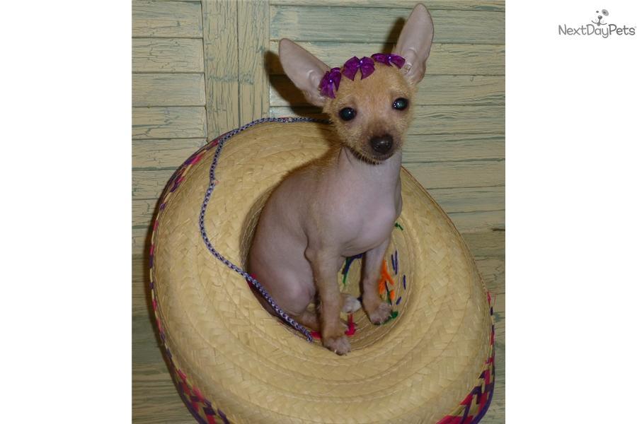 Tiny Mexican Dog Breed