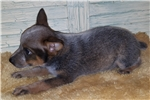 Picture of BLUE LEOPARD HEELER MALE PUPPY-BUCKIE