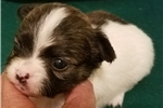 Picture of AKC/CKC BRINDLE AND WHITE TINY LONG HAIR FEMALE