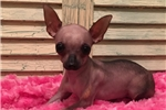 Picture of a Mexican Hairless Dog Puppy
