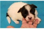 Picture of AKC PAPILLON FEMALE PUPPY