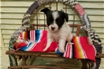 Picture of AKC MALE PAPILLON