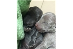 Picture of Blue and Silver Weimaraners