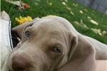 Picture of Silver male Weimaraners