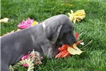 Picture of Blue male Weimaraner