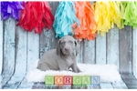 Picture of Silver Female Weimaraner