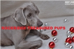 Picture of House-trained Female Weimaraner
