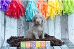 Picture of Silver Male Weimaraner