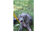 Picture of Blue Weim male